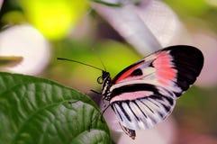 Mariposa rosada de Longwing, llave del piano fotografía de archivo