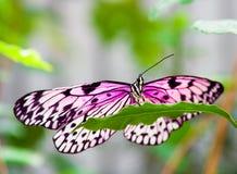 Mariposa rosada en la hoja verde Imagenes de archivo