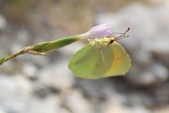 Mariposa sedienta Foto de archivo