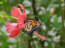 Mariposa silvestre dominicana conocida tambien como gallito Stock Images
