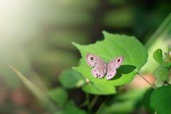 Mariposa suave del foco y de la falta de definición que se sienta en la hoja verde Foto de archivo libre de regalías