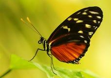 Mariposa suramericana del ala del tigre de Harmonia Imagen de archivo libre de regalías