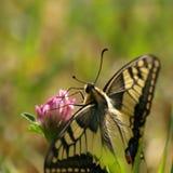 Mariposa Swallowtail imagen de archivo libre de regalías