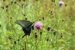 Mariposa, swallowtail negro Fotografía de archivo