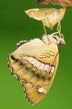 Mariposa, thibetana de Euthalia Fotos de archivo