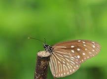 Mariposa, tigre azul, limniace de Tirumala, Foto de archivo libre de regalías