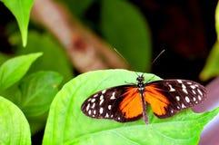 Mariposa, tigre de Ismenius en la hoja Imagen de archivo libre de regalías