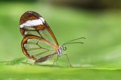 Mariposa transparente del ala - oto de Greta Fotografía de archivo libre de regalías