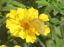 Mariposa transparente en una flor amarilla Imagen de archivo