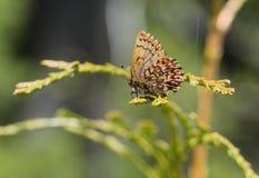 Mariposa traviesa del pino occidental fotografía de archivo