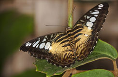 Mariposa tropical Imagen de archivo libre de regalías