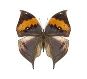 Mariposa tropical de Kallima Imagenes de archivo