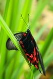Mariposa tropical en hierba Imagen de archivo libre de regalías