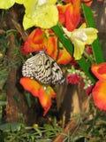Mariposa tropical en una flor anaranjada Fotografía de archivo libre de regalías