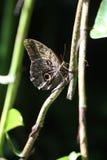 Mariposa tropical entre follaje Imagenes de archivo