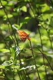 Mariposa tropical entre follaje Fotos de archivo