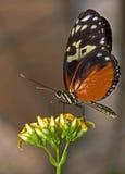 Mariposa tropical hermosa encima de un amarillo Imagen de archivo