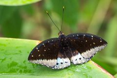 Mariposa tropical que se sienta en una hoja fotos de archivo