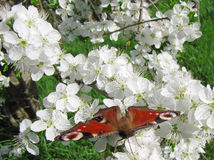 Mariposa Vanesa Io imagen de archivo