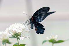 Mariposa (varón mormón del escarlata) Fotografía de archivo libre de regalías