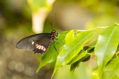 Mariposa variable de Cattleheart Imagen de archivo libre de regalías