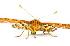 Mariposa variable masculina de Checkerspot, Euphydryas ch Imágenes de archivo libres de regalías