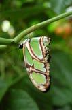 Mariposa verde Foto de archivo libre de regalías