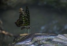 Mariposa verde Imagenes de archivo