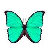 Mariposa verde clara exótica aislada en el fondo blanco, el b Fotos de archivo