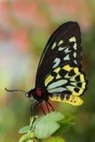 Mariposa verde de Birdwing Fotografía de archivo
