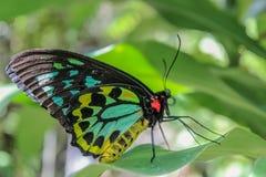 Mariposa verde de Birdwing de los mojones Foto de archivo libre de regalías
