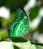 Mariposa verde en la hoja Foto de archivo libre de regalías