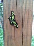 Mariposa verde que se coloca en la madera imagen de archivo