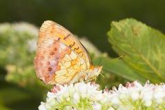 Mariposa veteada del Fritillary (daphne de Brenthis) encendido Fotografía de archivo libre de regalías