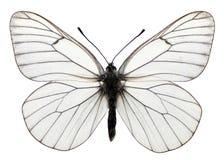 Mariposa veteada negro aislada Fotos de archivo