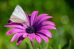 Mariposa veteada verde que recoge el polen del néctar del africano púrpura Daisy Osteospermum Tresco Purple imagen de archivo