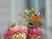 Mariposa video en una flor almacen de metraje de vídeo