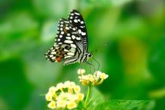 Mariposa viva del vuelo Foto de archivo