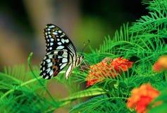 Mariposa viva del vuelo Fotos de archivo