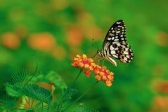 Mariposa viva del vuelo Imagenes de archivo