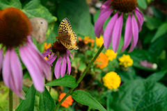 Mariposa y abeja del Fritillary de Krautwurm (krautwurmi del cybele de Speyeria) en Echinacea Imagen de archivo