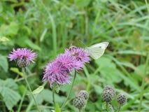Mariposa y abeja en la flor Fotografía de archivo libre de regalías