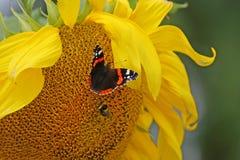 Mariposa y abeja en un girasol Fotografía de archivo