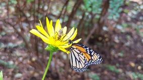 Mariposa y abeja en una margarita Foto de archivo