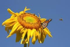 Mariposa y abejas en un girasol Fotos de archivo