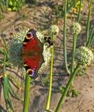 Mariposa y abejorro en la flor de las cebollas Imagen de archivo libre de regalías