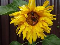 Mariposa y abejorro en un girasol Fotografía de archivo