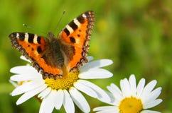 Mariposa y camomiles fotografía de archivo