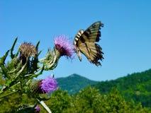 Mariposa y cardo Imágenes de archivo libres de regalías