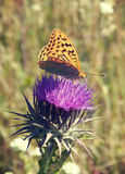 Mariposa y cardo fotografía de archivo libre de regalías